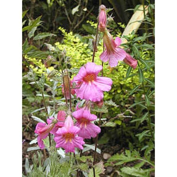 Rehmannia Elata Seeds (Chinese Foxglove Seeds)