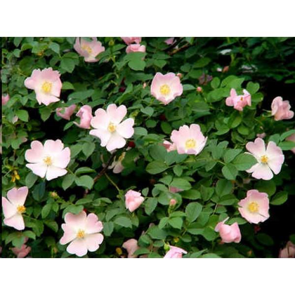 Rosa Canina (Wild Rose, Dog Rose)