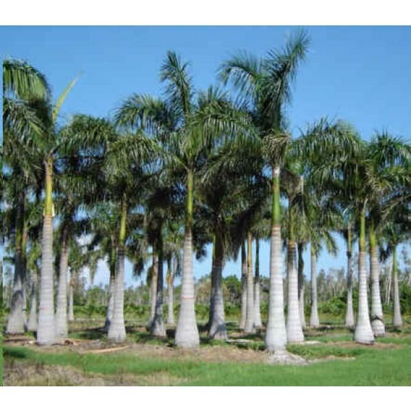 Roystonea Regia Seeds (Oreodoxa Regia Seeds, Roystonea Elata Seeds, Royal Palm Seeds)