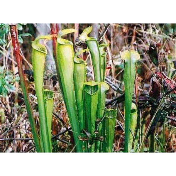 Sarracenia Alata (Pale Pitcher Plant)