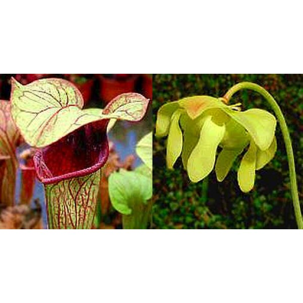 Sarracenia Oreophila Mix of Forms (Heavily Veined)