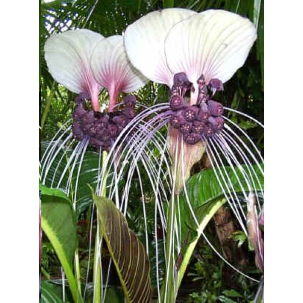 Tacca Integrifolia (Purple Bat Flower, Cat's Wiskers)