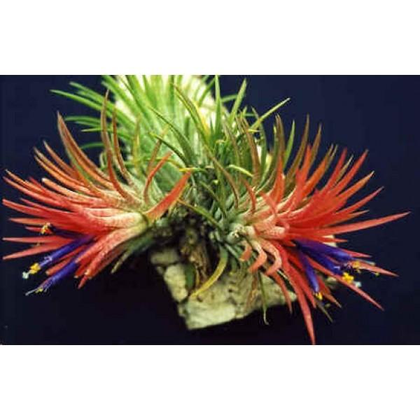 Tillandsia Ionantha (Bromeliad, Shy Plant)
