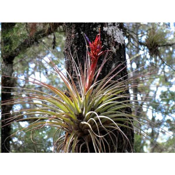 Tillandsia Rotundata (Epiphytic Bromeliad)