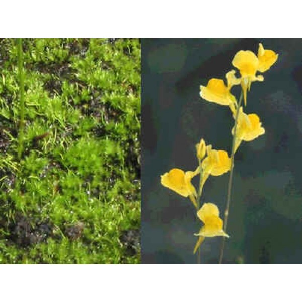 Utricularia Juncea (Southern Bladderwort)