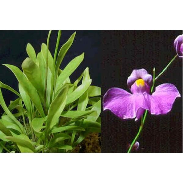 Utricularia Longifolia