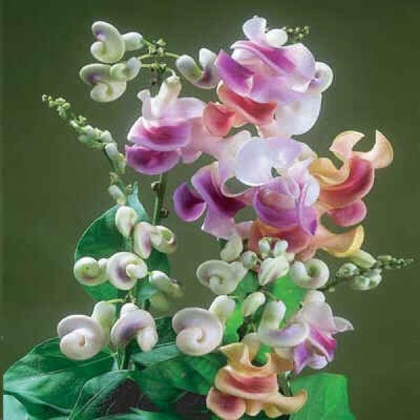 Vigna Caracalla (Snail Flower, Corkscrew Vine, Mail Vine)
