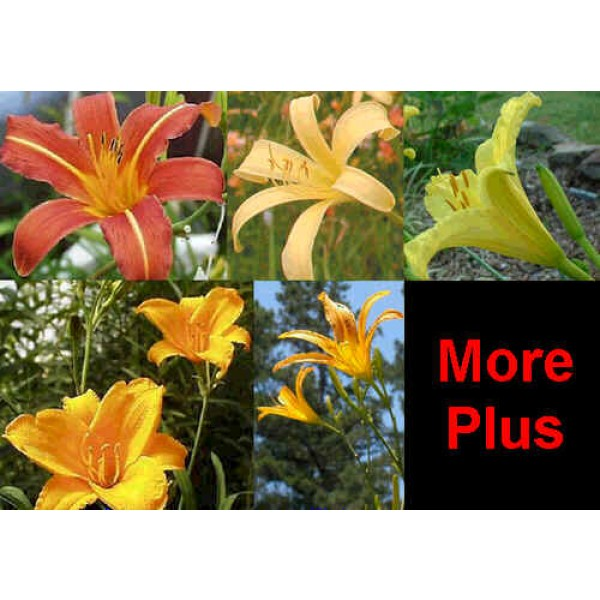 Daylily Diploid Seeds Hybrids Mix (Fine Daylilies Seeds Mix)