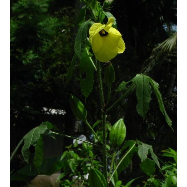 Musk Mallow Seeds, Musk Okra Seeds (Abelmoschus Moschatus)