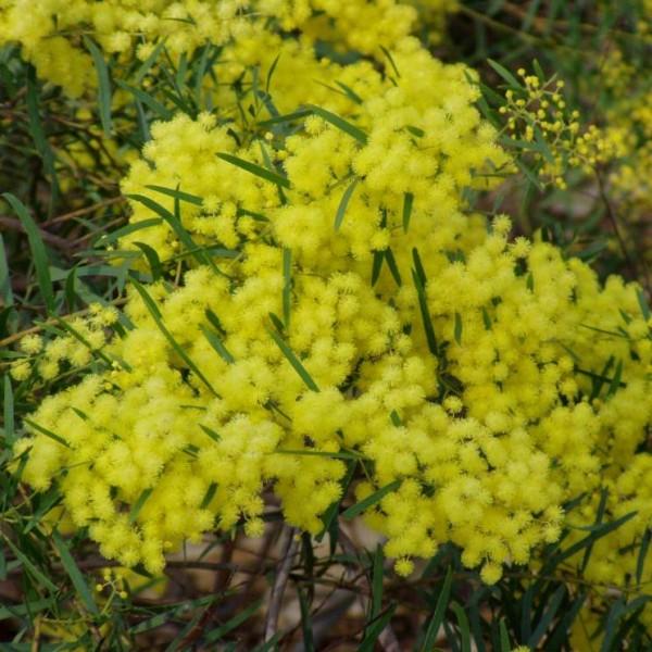 Acacia Fimbriata (Fringed Wattle)