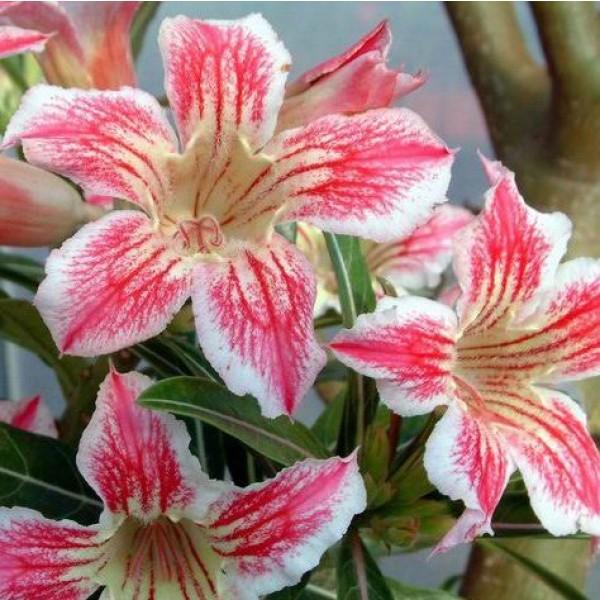Adenium Star of Luck Seeds (Adenium Obesum Seeds)