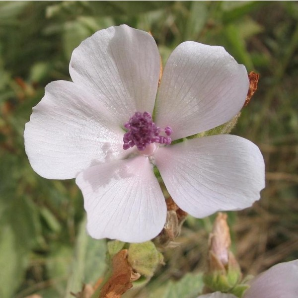 Althaea Officinalis (Marshmallow) - flower