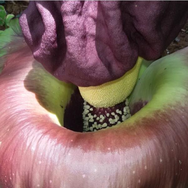 Amorphophallus Paeoniifolius Seeds (Elephant Yam Seeds)