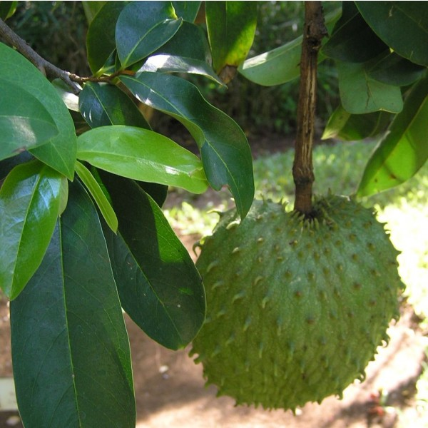 Annona Muricata Seeds (Soursop Seeds, Soursap Seeds, Graviola Seeds)