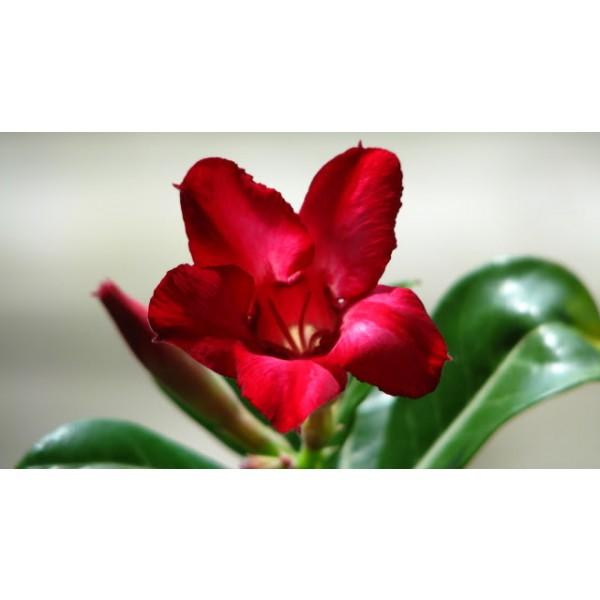 Adenium Small Red Plum Seeds (Adenium Obesum Seeds)
