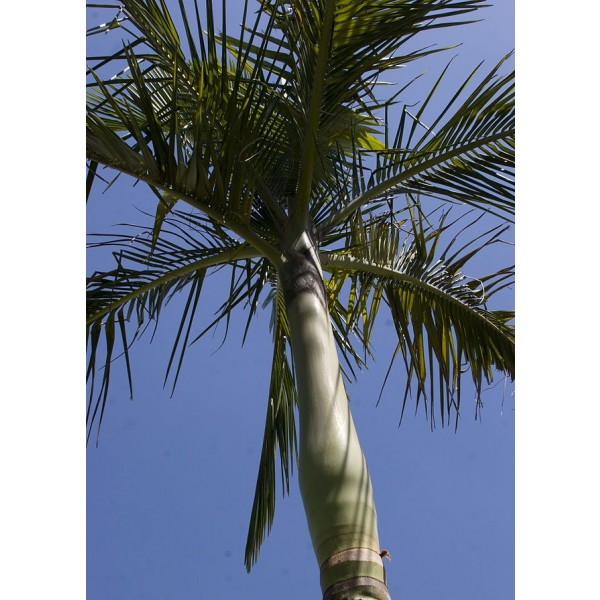 Archontophoenix Alexandrae (King Palm, Alexander Palm, Alexandra Palm)