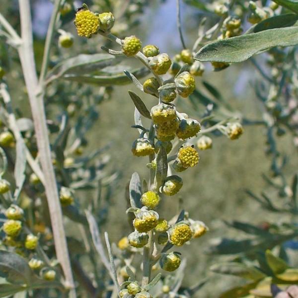 Artemisia Absinthium (Wormwood)