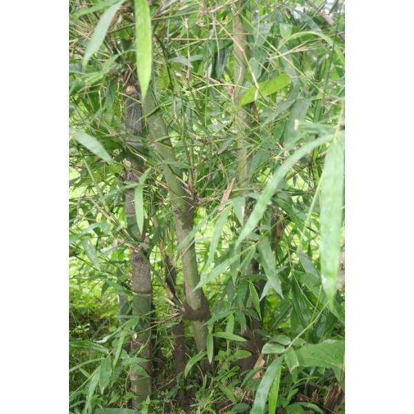 Bambusa nutans