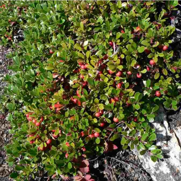 Bearberry Seeds (Arctostaphylos uva-ursi)