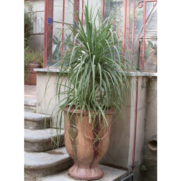 elephant's foot, ponytail palm