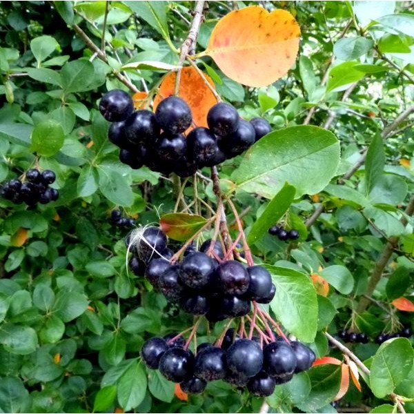 Black Chokeberry Seeds