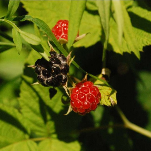 Blackberry Fruit - Shrub Seeds