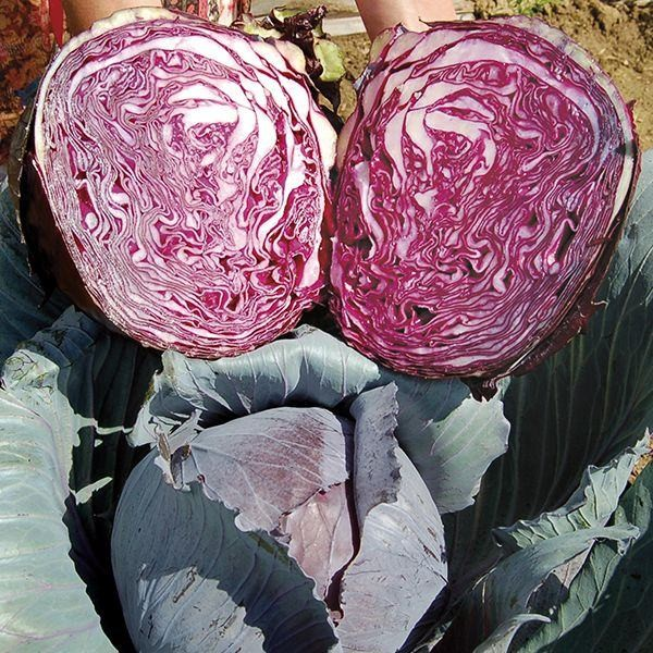 Buscaro Red Cabbage Seeds