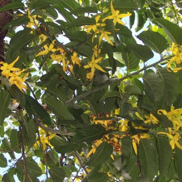 Cananga Odorata Seeds (Ylang Ylang Seeds, Ilang Ilang Seeds)
