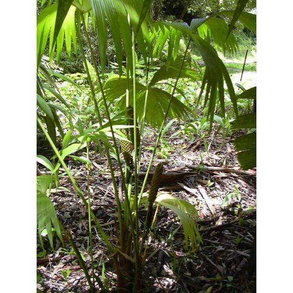Carludovica palmata (Jipijapa Palm)