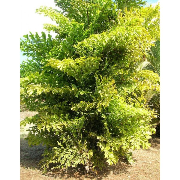 Caryota Mitis (Clustered Fishtail Palm)