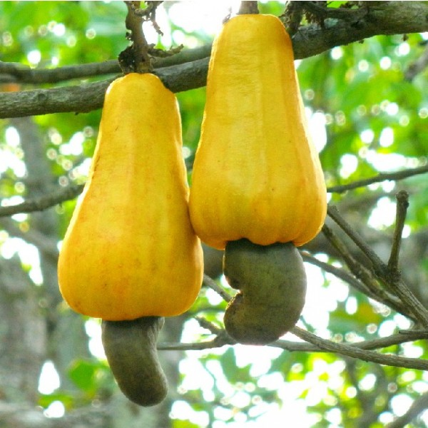 Anacardium Occidentale (Cashew Tree Seeds)