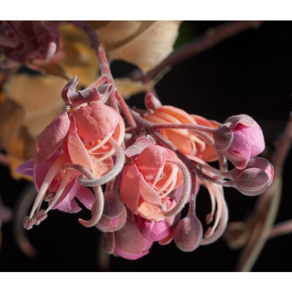 Cassia Grandis Seeds (Coral Shower, Pink Shower Tree Seeds)