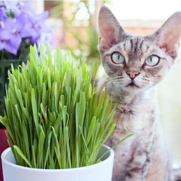 Variegated Cat Grass
