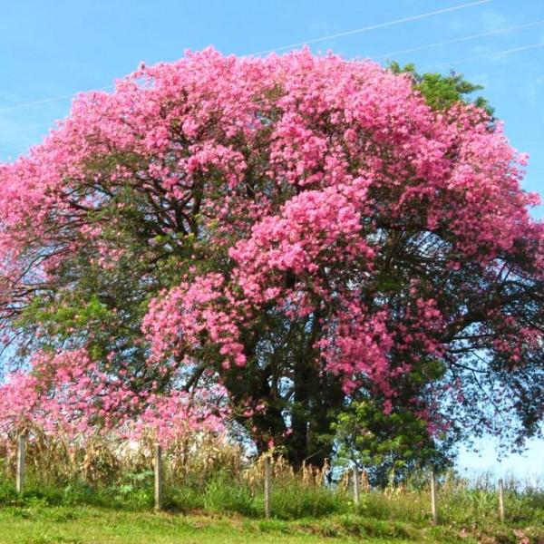 Chorisia Speciosa Seeds (Ceiba Speciosa Seeds, Silk Floss Tree Seeds, Kapok Seeds, Bombax Seeds)