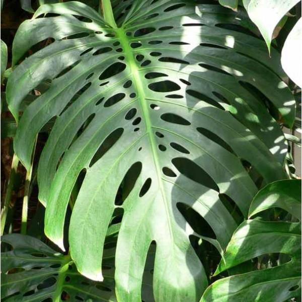 Monstera Deliciosa Seeds (Ceriman Seeds, Split-leaf Philodendron Seeds)