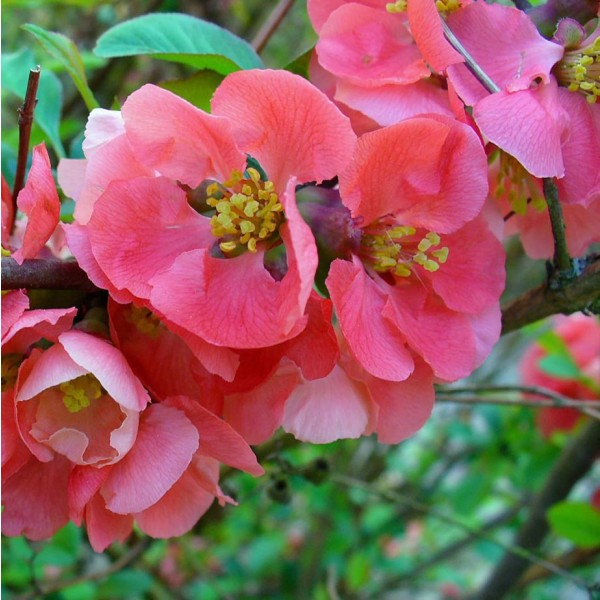 Chaenomeles Japonica Seeds (Flowering Quince Seeds)