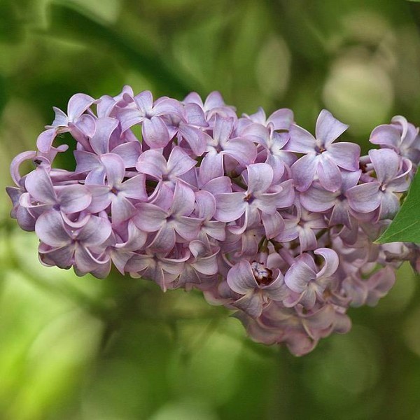 Lilac Common Purple Seeds