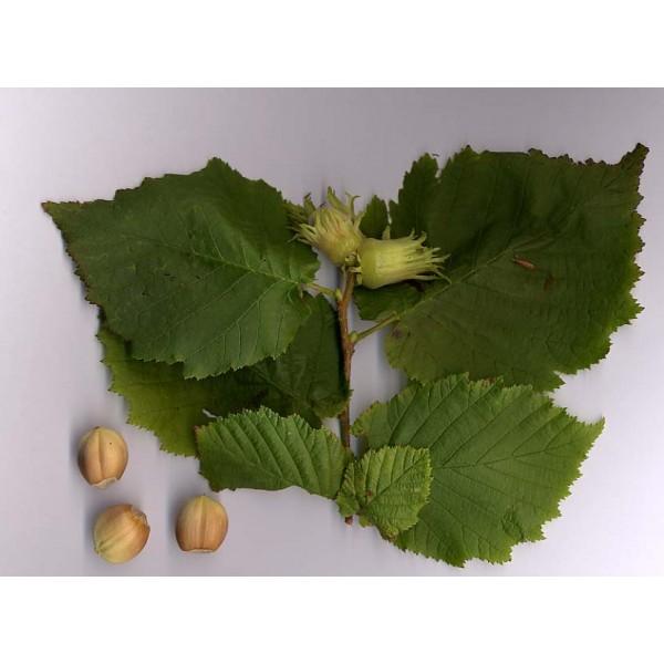 Corylus Avellana Seeds (Common Hazel Seeds)