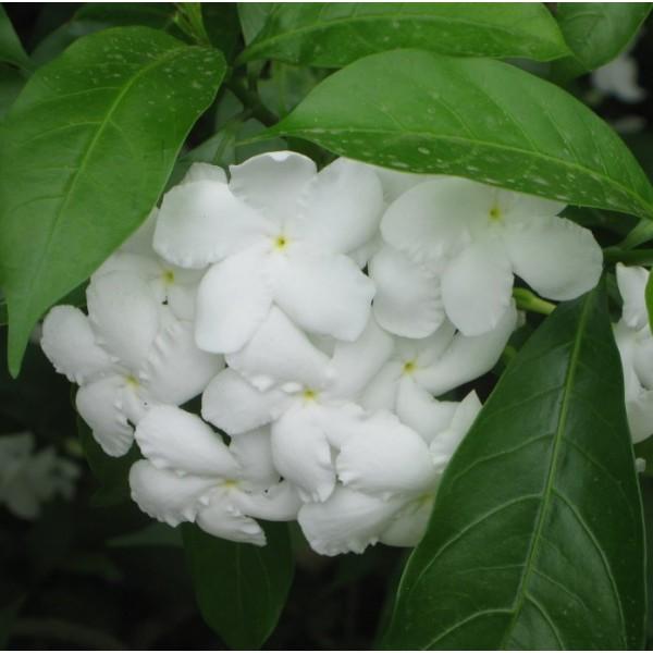 Crape Jasmine Seeds (Tabernaemontana divaricata)