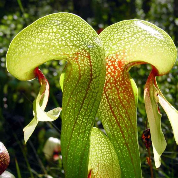 Darlingtonia Californica Seeds (Cobra Palnt Seeds)