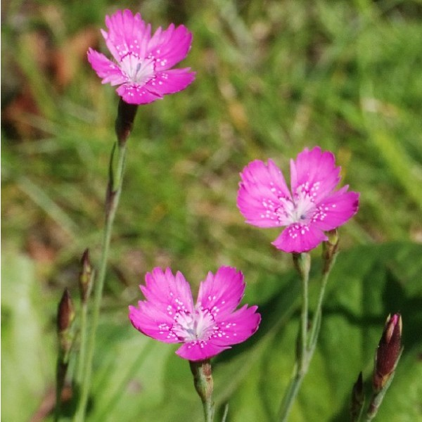 Dianthus deltoides (Maiden Pink)