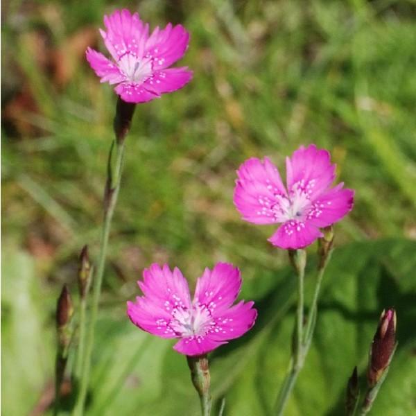Dianthus Deltoides Seeds (Maiden Pink Seeds)