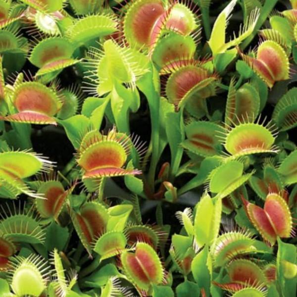 Dionaea Muscipula Seeds (Venus Flytrap Seeds)