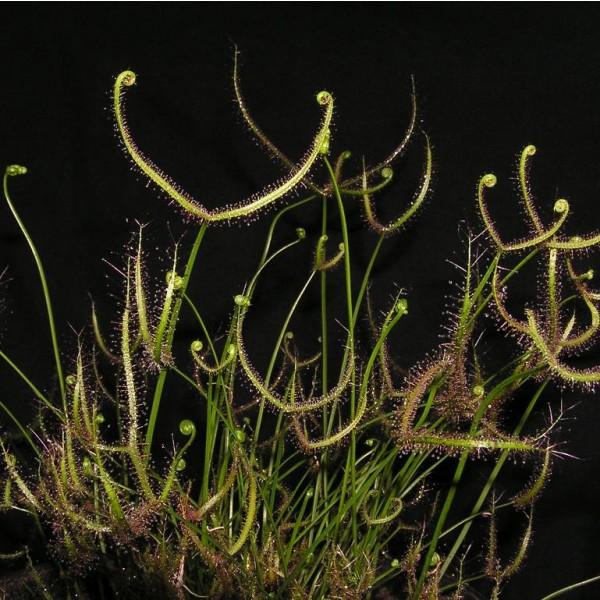 Drosera Binata Seeds (The Forked Sundew)