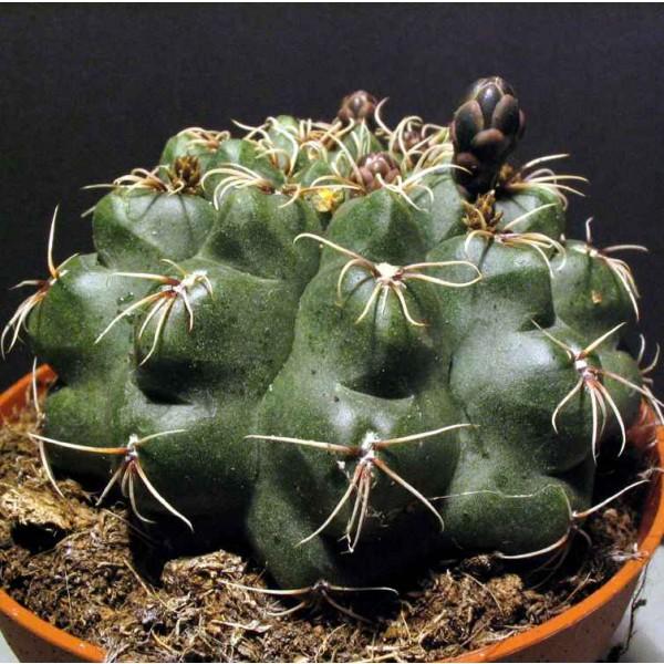 Gymnocalycium Baldianum Seeds (Dwarf Chin Cactus)