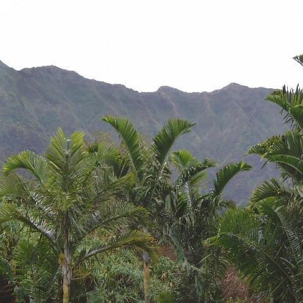 Pemba Palm Seeds (Dypsis pembana)