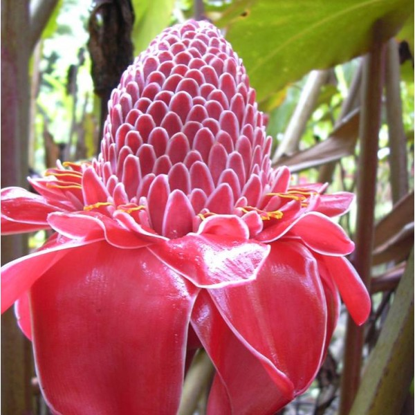 Etlingera Elatior Red Seeds (Red Torch Ginger Seeds)