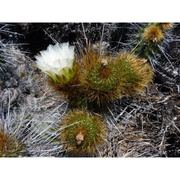 Eulychnia Acida Seeds (Copao Seeds)