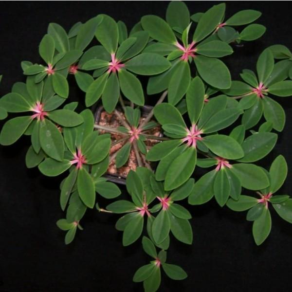 Euphorbia Bongolavensis Seeds