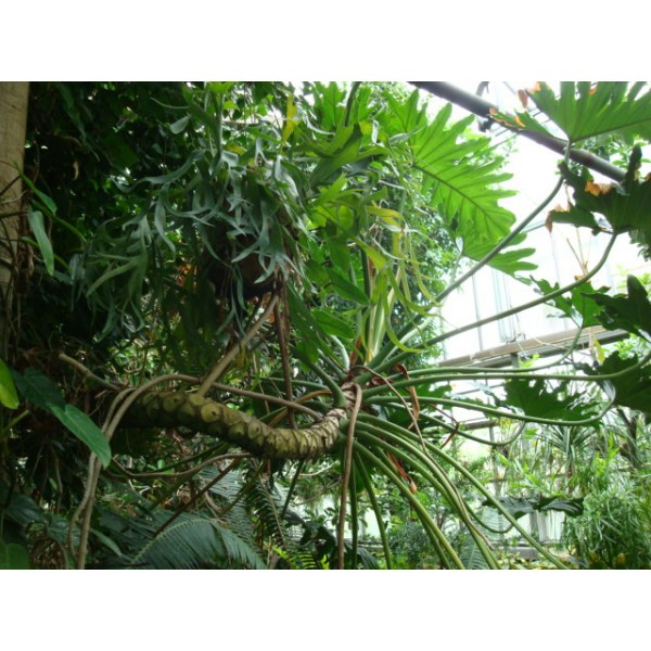 Philodendron Bipinnatifidum Seeds (Lacy Tree Philodendron, Selloum)